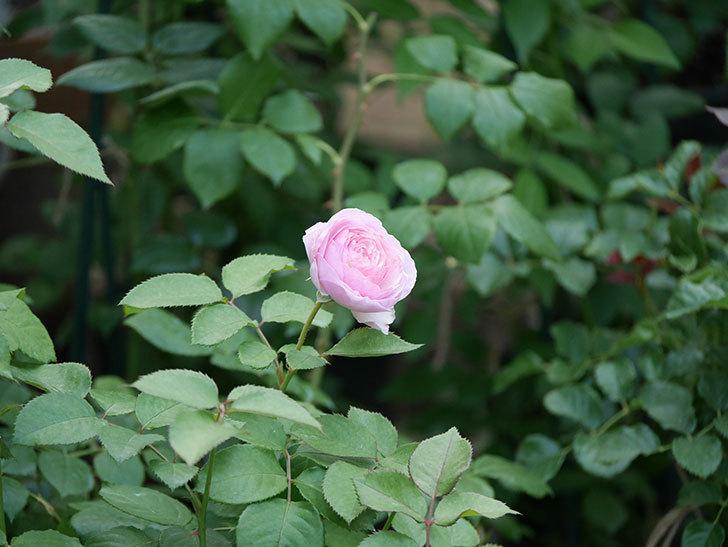 オリビア・ローズ・オースチン(半ツルバラ)の花が咲いた。2019年-8.jpg