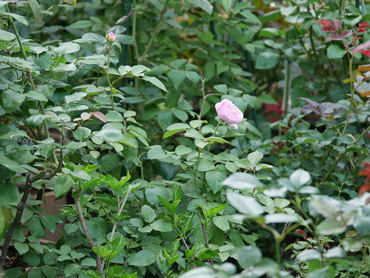 オリビア・ローズ・オースチン(半ツルバラ)の花が咲いた。2019年-9.jpg