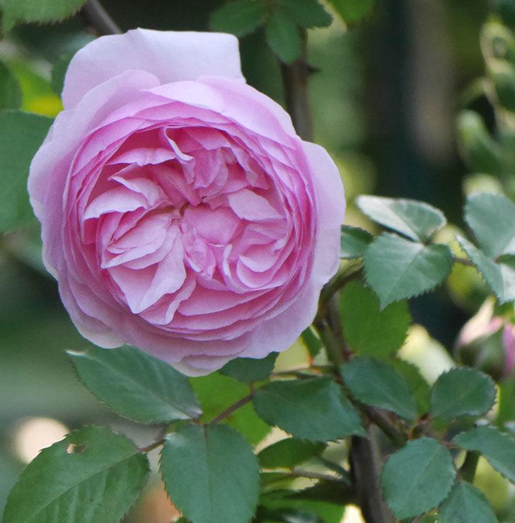 オリビア・ローズ・オースチン(半ツルバラ)の花が咲いた。2020年-1.jpg