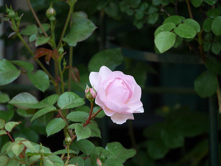 オリビア・ローズ・オースチン(半ツルバラ)の花が咲いた。2020年-10.jpg