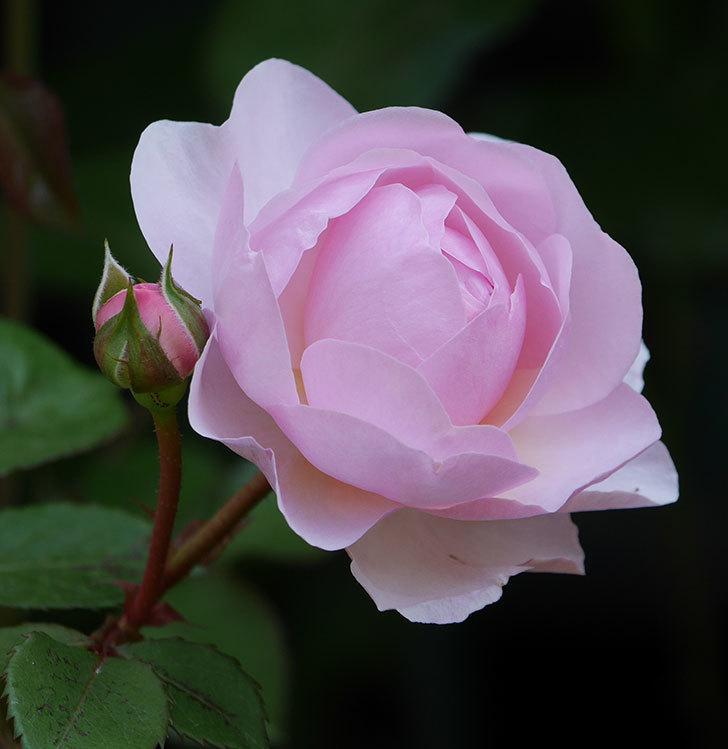 オリビア・ローズ・オースチン(半ツルバラ)の花が咲いた。2020年-11.jpg