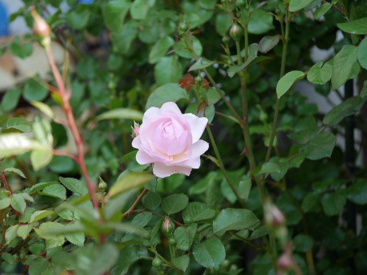 オリビア・ローズ・オースチン(半ツルバラ)の花が咲いた。2020年-12.jpg