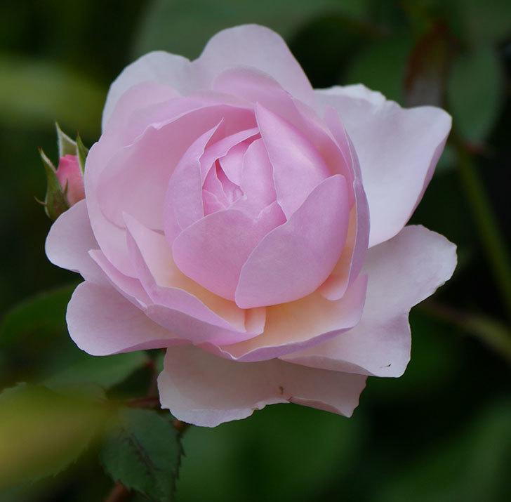 オリビア・ローズ・オースチン(半ツルバラ)の花が咲いた。2020年-13.jpg