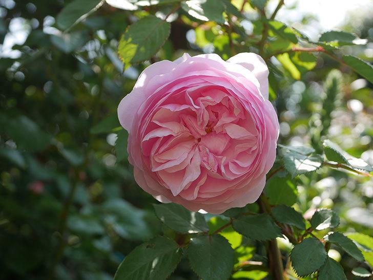 オリビア・ローズ・オースチン(半ツルバラ)の花が咲いた。2020年-14.jpg