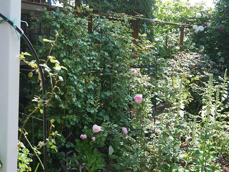 オリビア・ローズ・オースチン(半ツルバラ)の花が咲いた。2020年-15.jpg