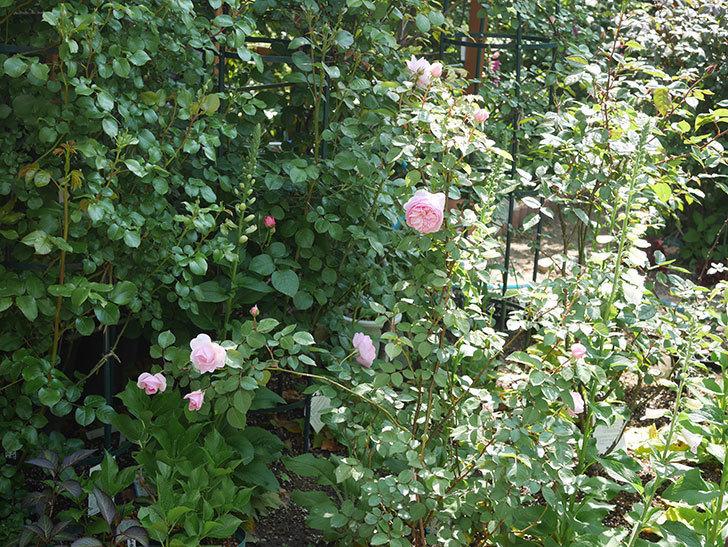 オリビア・ローズ・オースチン(半ツルバラ)の花が咲いた。2020年-16.jpg