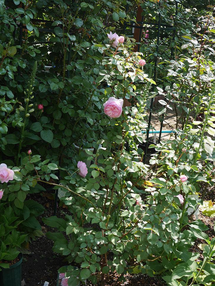 オリビア・ローズ・オースチン(半ツルバラ)の花が咲いた。2020年-17.jpg