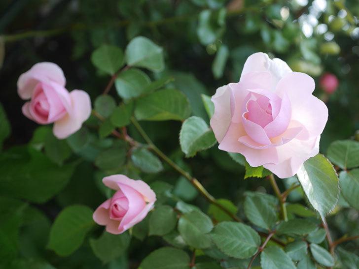 オリビア・ローズ・オースチン(半ツルバラ)の花が咲いた。2020年-18.jpg