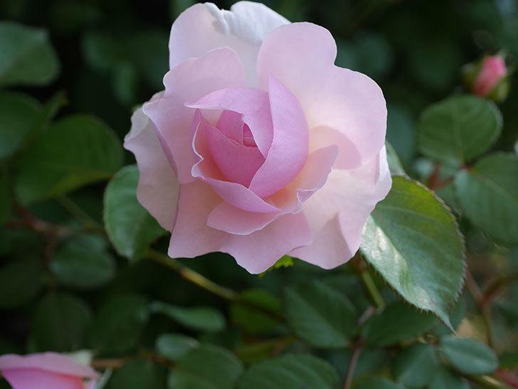 オリビア・ローズ・オースチン(半ツルバラ)の花が咲いた。2020年-19.jpg