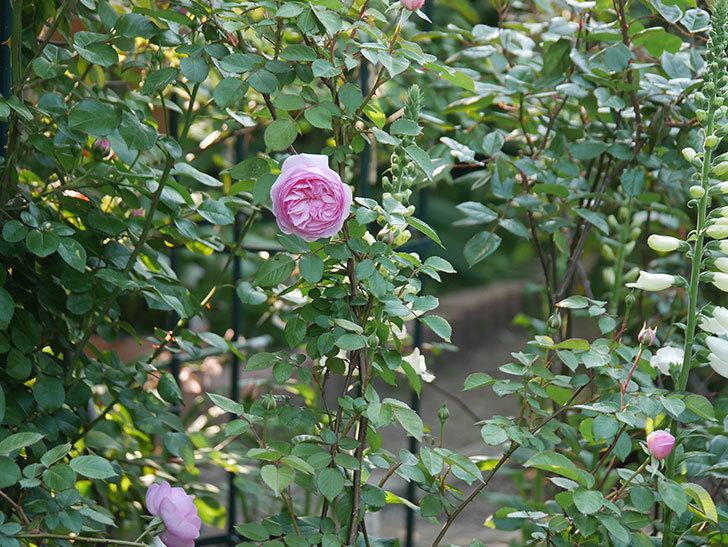 オリビア・ローズ・オースチン(半ツルバラ)の花が咲いた。2020年-2.jpg