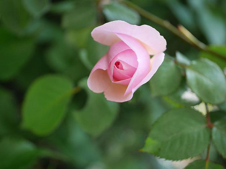 オリビア・ローズ・オースチン(半ツルバラ)の花が咲いた。2020年-20.jpg