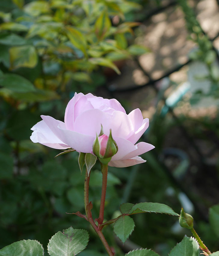 オリビア・ローズ・オースチン(半ツルバラ)の花が咲いた。2020年-21.jpg
