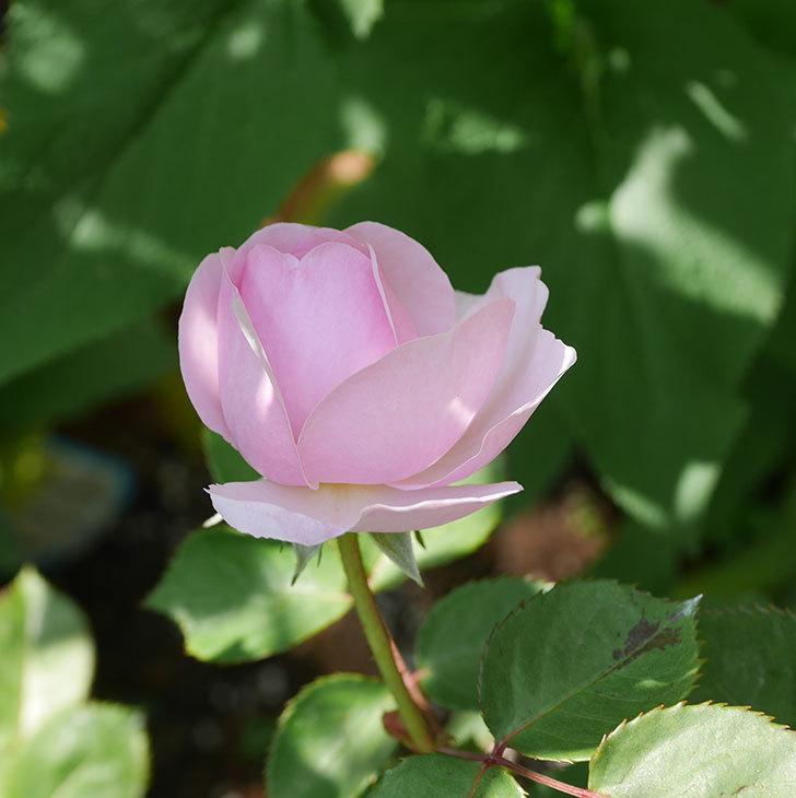 オリビア・ローズ・オースチン(半ツルバラ)の花が咲いた。2020年-22.jpg