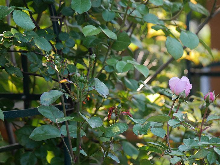 オリビア・ローズ・オースチン(半ツルバラ)の花が咲いた。2020年-24.jpg