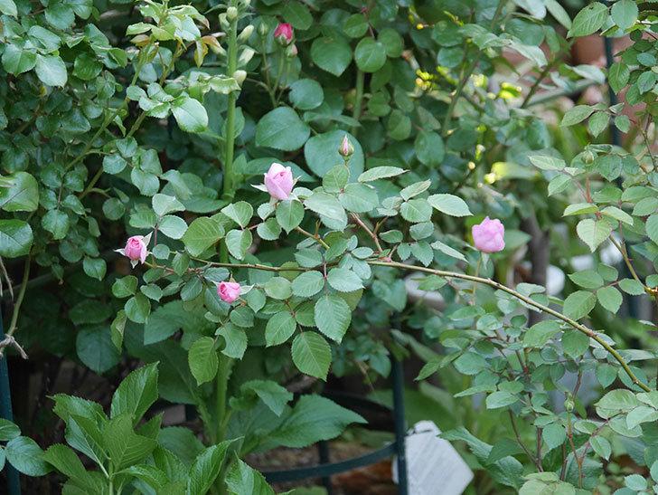 オリビア・ローズ・オースチン(半ツルバラ)の花が咲いた。2020年-25.jpg