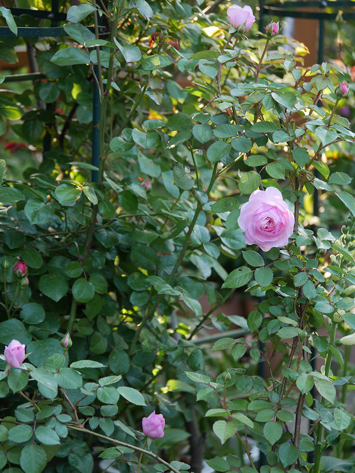 オリビア・ローズ・オースチン(半ツルバラ)の花が咲いた。2020年-26.jpg