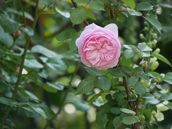 オリビア・ローズ・オースチン(半ツルバラ)の花が咲いた。2020年-3.jpg