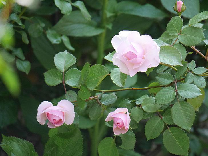 オリビア・ローズ・オースチン(半ツルバラ)の花が咲いた。2020年-4.jpg