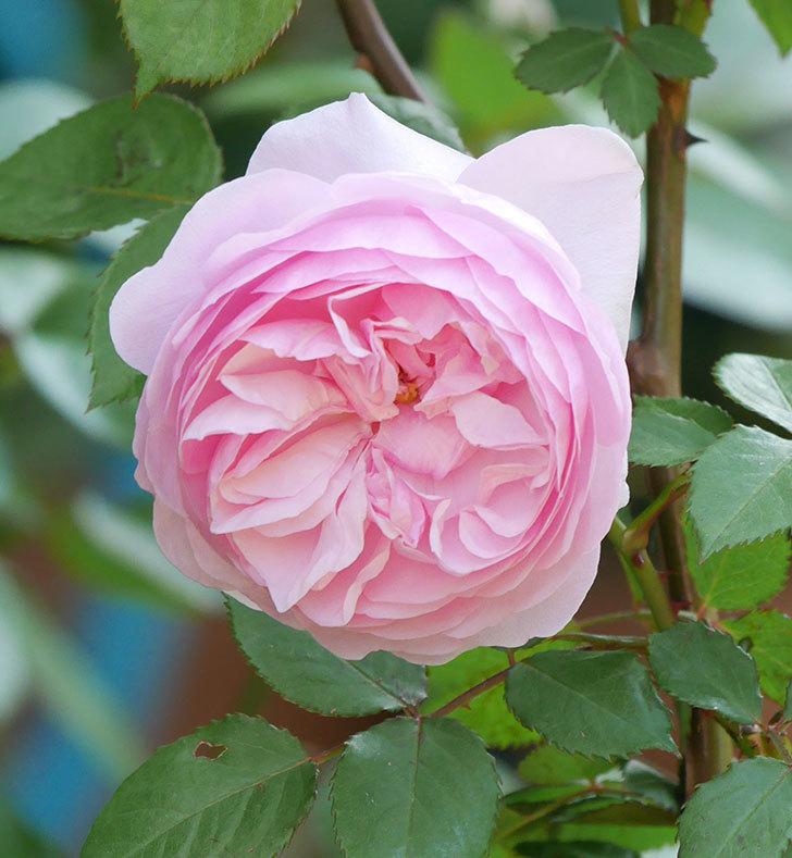 オリビア・ローズ・オースチン(半ツルバラ)の花が咲いた。2020年-5.jpg