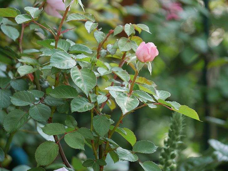 オリビア・ローズ・オースチン(半ツルバラ)の花が咲いた。2020年-6.jpg