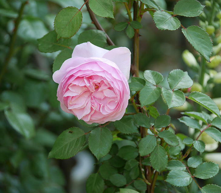 オリビア・ローズ・オースチン(半ツルバラ)の花が咲いた。2020年-7.jpg