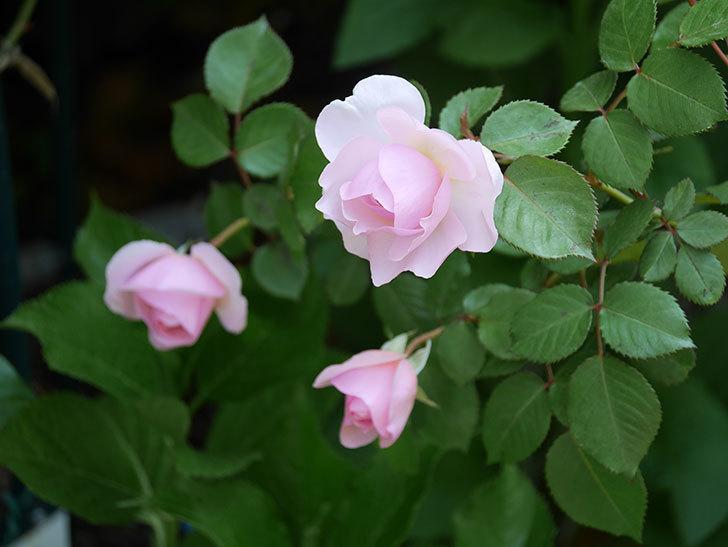 オリビア・ローズ・オースチン(半ツルバラ)の花が咲いた。2020年-8.jpg