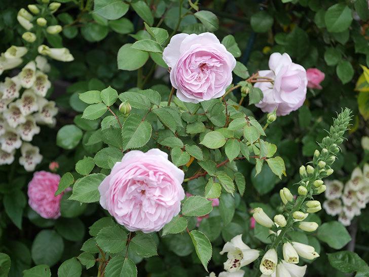 オリビア・ローズ・オースチン(半ツルバラ)の花が増えてきた。2020年-1.jpg