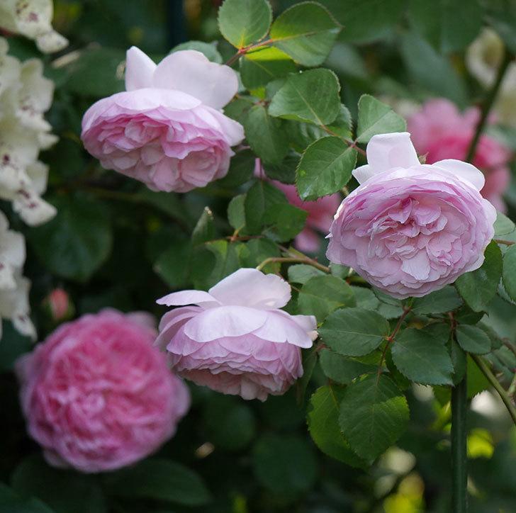 オリビア・ローズ・オースチン(半ツルバラ)の花が増えてきた。2020年-10.jpg