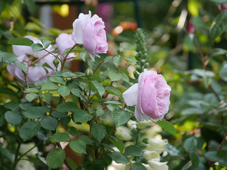 オリビア・ローズ・オースチン(半ツルバラ)の花が増えてきた。2020年-11.jpg