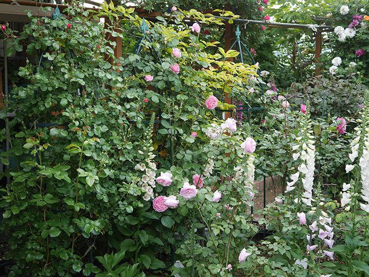 オリビア・ローズ・オースチン(半ツルバラ)の花が増えてきた。2020年-2.jpg