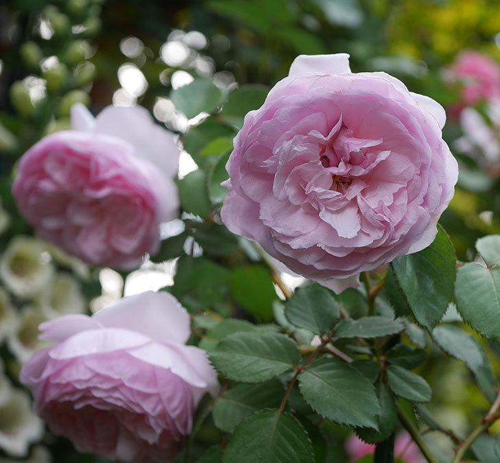 オリビア・ローズ・オースチン(半ツルバラ)の花が増えてきた。2020年-3.jpg