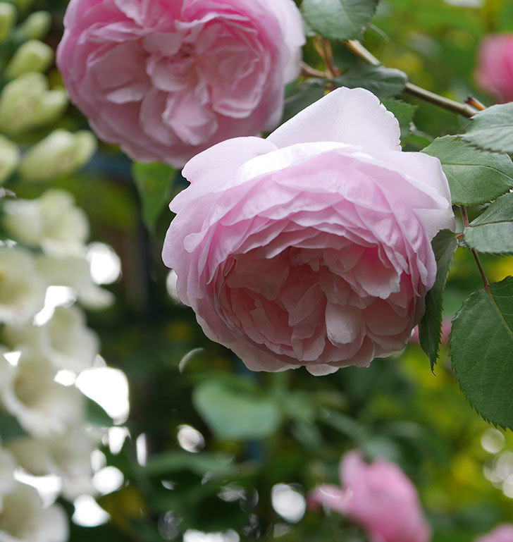 オリビア・ローズ・オースチン(半ツルバラ)の花が増えてきた。2020年-4.jpg