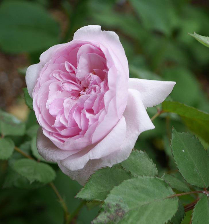 オリビア・ローズ・オースチン(半ツルバラ)の花が増えてきた。2020年-5.jpg