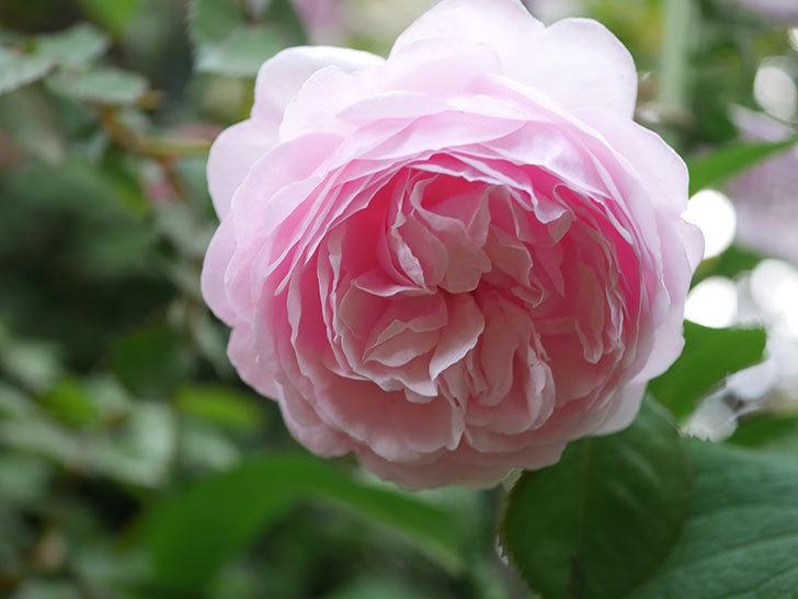 オリビア・ローズ・オースチン(半ツルバラ)の花が増えてきた。2020年-6.jpg