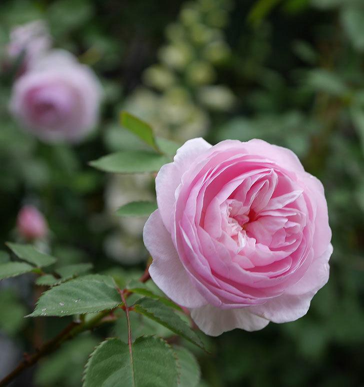 オリビア・ローズ・オースチン(半ツルバラ)の花が増えてきた。2020年-7.jpg