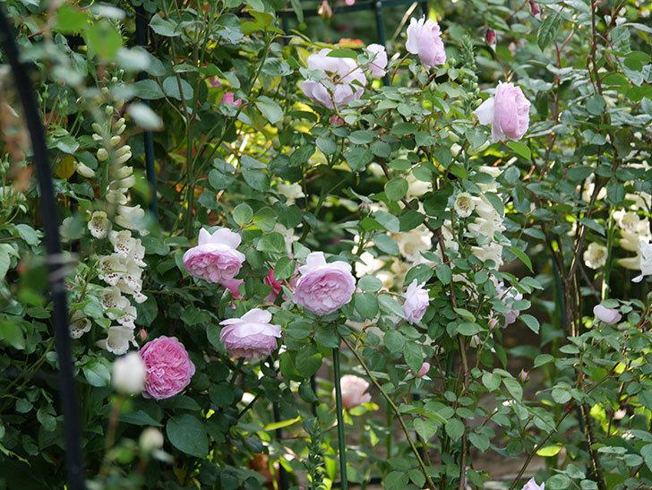 オリビア・ローズ・オースチン(半ツルバラ)の花が増えてきた。2020年-8.jpg