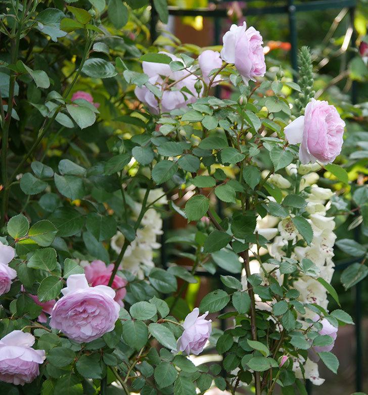 オリビア・ローズ・オースチン(半ツルバラ)の花が増えてきた。2020年-9.jpg