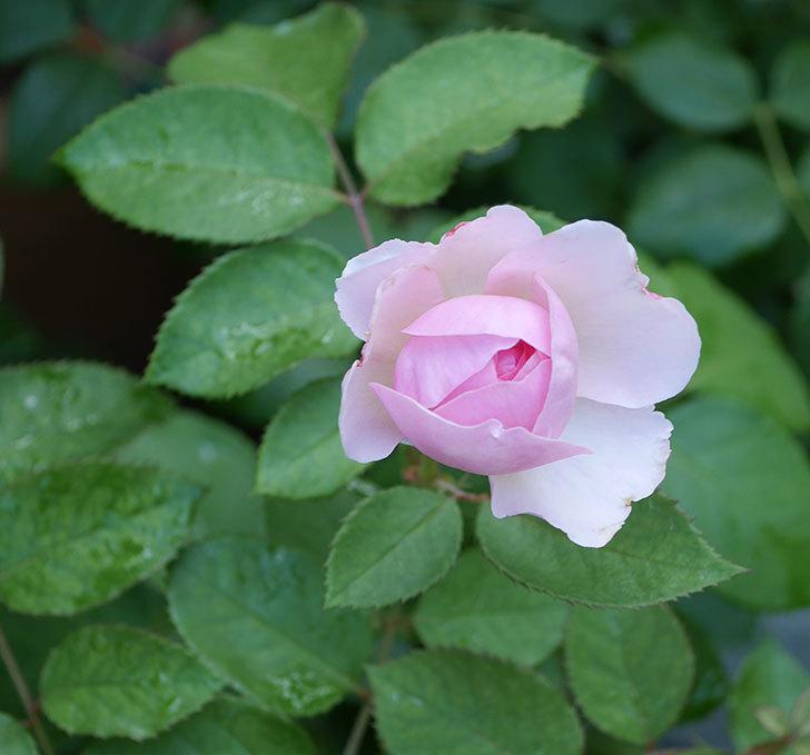 オリビア・ローズ・オースチン(半ツルバラ)の花が少し咲いた。2019年-1.jpg