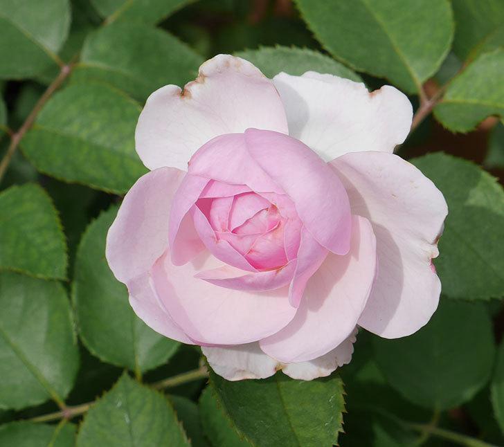 オリビア・ローズ・オースチン(半ツルバラ)の花が少し咲いた。2019年-10.jpg