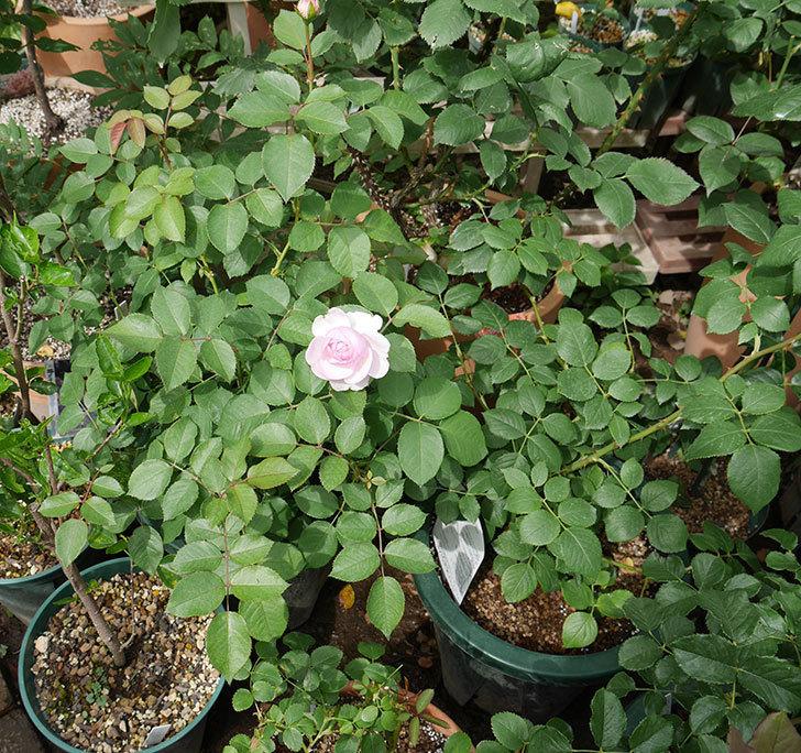 オリビア・ローズ・オースチン(半ツルバラ)の花が少し咲いた。2019年-11.jpg