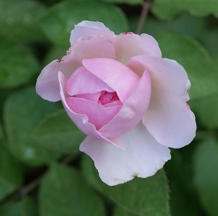 オリビア・ローズ・オースチン(半ツルバラ)の花が少し咲いた。2019年-2.jpg