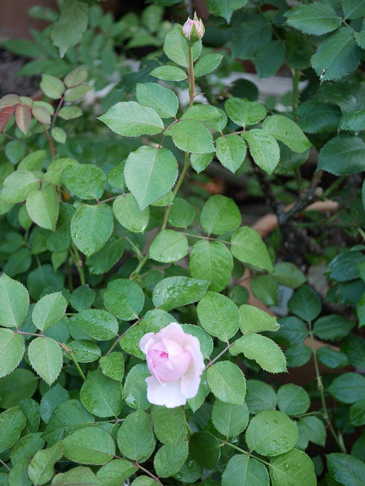 オリビア・ローズ・オースチン(半ツルバラ)の花が少し咲いた。2019年-5.jpg