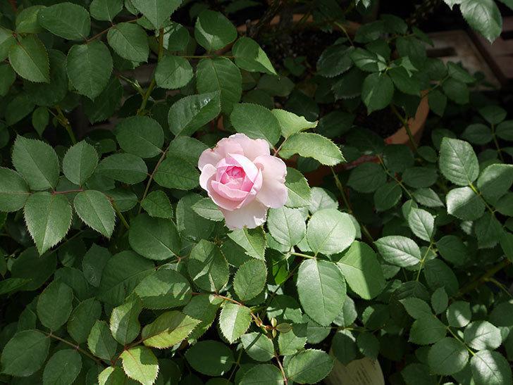 オリビア・ローズ・オースチン(半ツルバラ)の花が少し咲いた。2019年-6.jpg