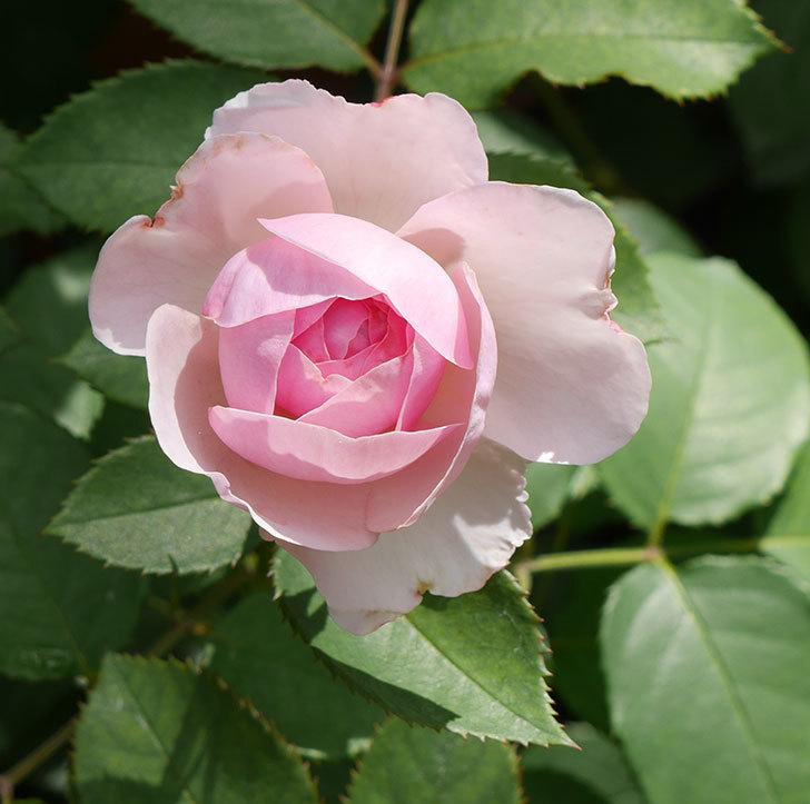 オリビア・ローズ・オースチン(半ツルバラ)の花が少し咲いた。2019年-8.jpg