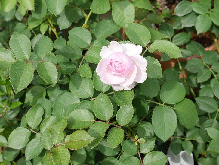 オリビア・ローズ・オースチン(半ツルバラ)の花が少し咲いた。2019年-9.jpg