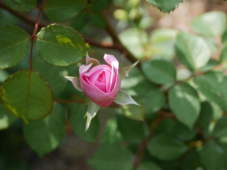 オリビア・ローズ・オースチン(半ツルバラ)の花が少し咲いた。2020年-2.jpg