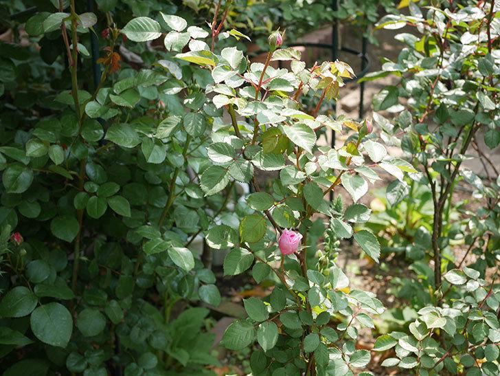 オリビア・ローズ・オースチン(半ツルバラ)の花が少し咲いた。2020年-5.jpg