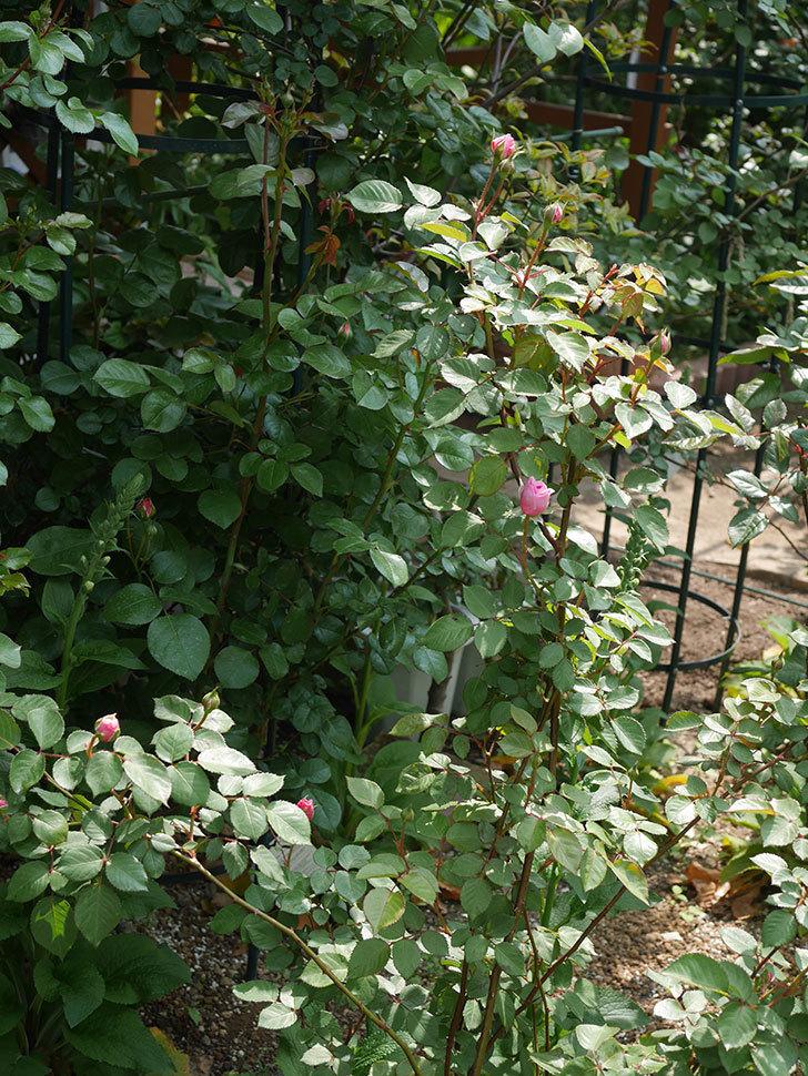 オリビア・ローズ・オースチン(半ツルバラ)の花が少し咲いた。2020年-6.jpg