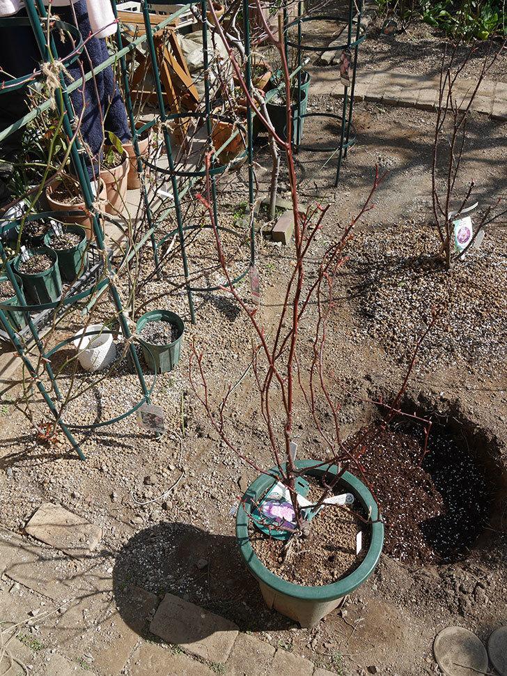 オリビア・ローズ・オースチン(半ツルバラ)を地植えにした。2020年-11.jpg