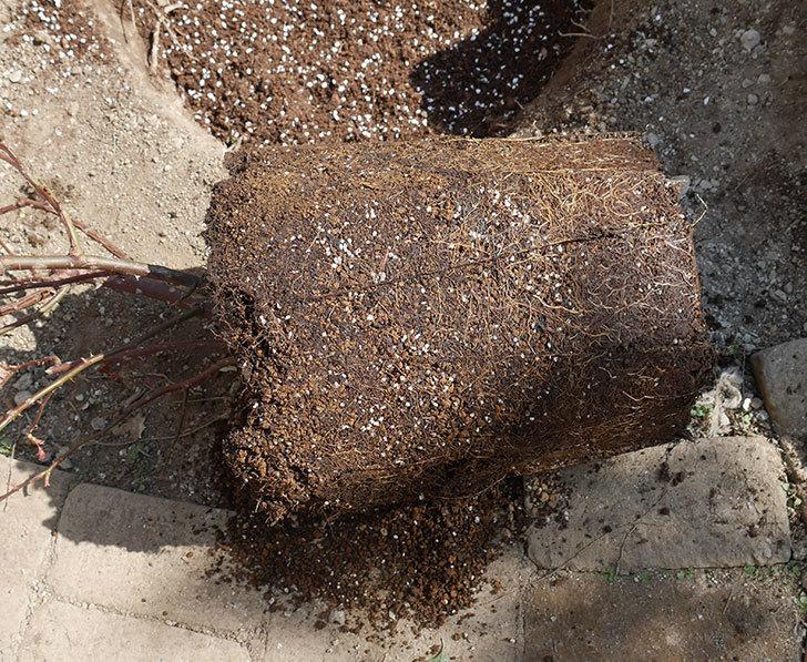 オリビア・ローズ・オースチン(半ツルバラ)を地植えにした。2020年-12.jpg